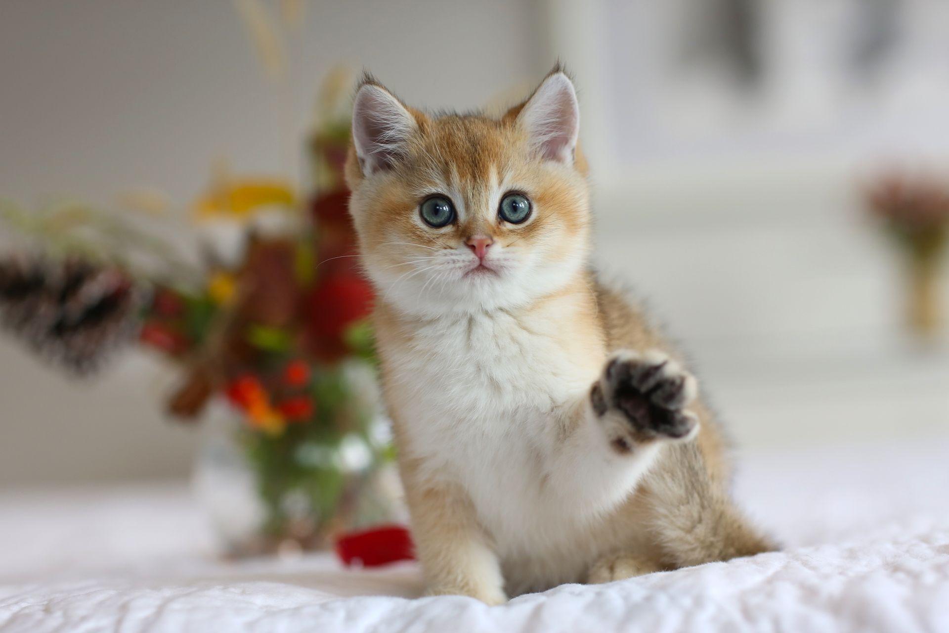 British Shorthair Golden Shaded Color Kitten In Usa Www