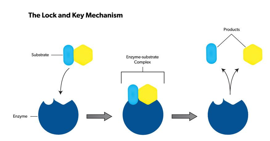 enzyme lock and key activity