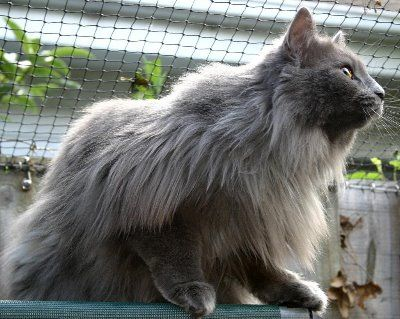 Cat Breeds With Pictures Different Breeds Of Cat Information