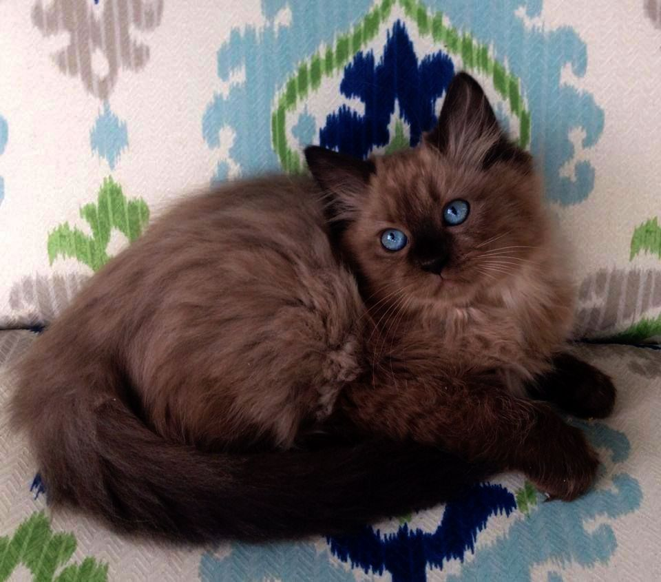 Cats And Kittens For Sale Aberdeenshire Any Cute Animals Coloring With Images Ragdoll Cat Colors Ragdoll Cat Ragdoll Kitten