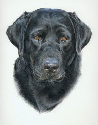Black Lab Artwork Animal Art Adventures Keaton Is It Morning