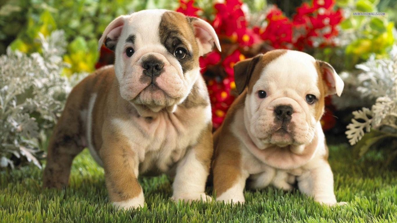 English Bulldog Puppies English Bulldog Puppies Wallpaper