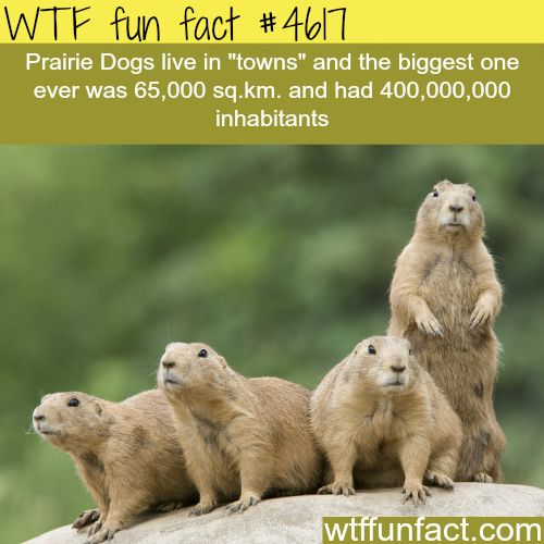 Interesting Facts about PRAIRIE DOGS *** | Animal Facts ...