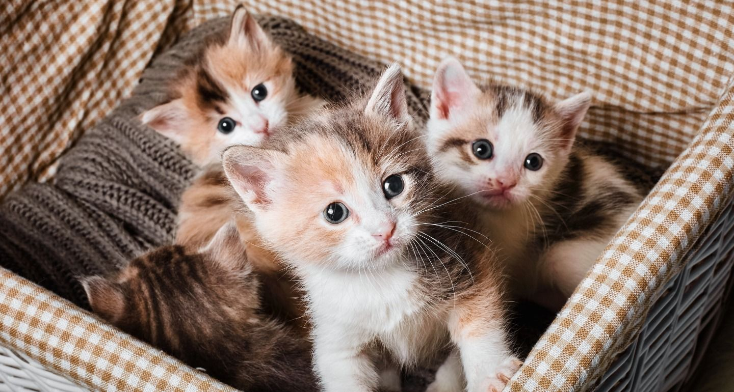 How Many Kittens Are In A Litter 2020 Kedi