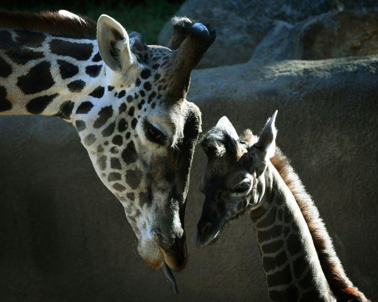 As girafas entram na longa lista de espécies ameaçadas