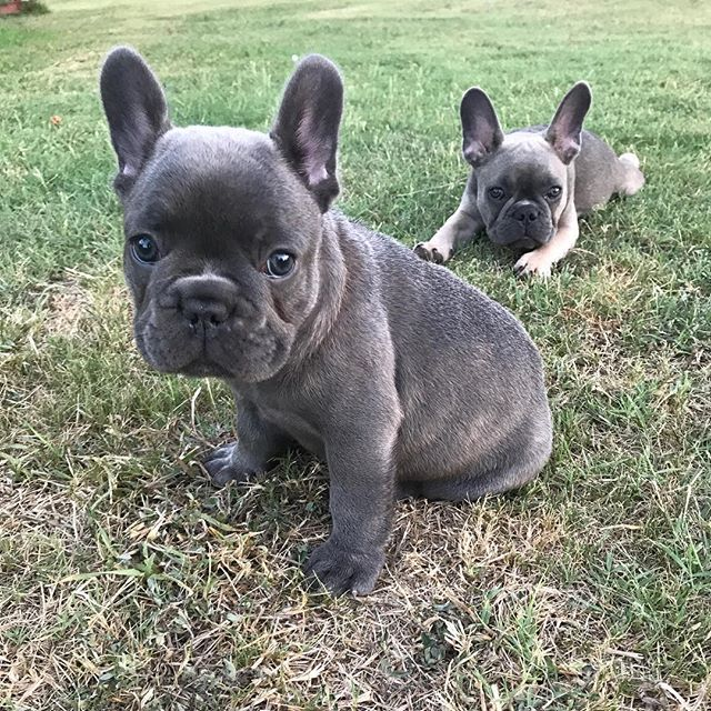 bulldogs french cutedogs amazingdogs adorable