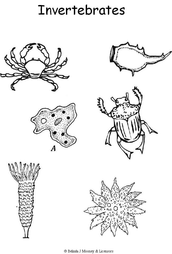 Vertebrate Animals Coloring Pages : Week invertebrates coloring page cc cycle