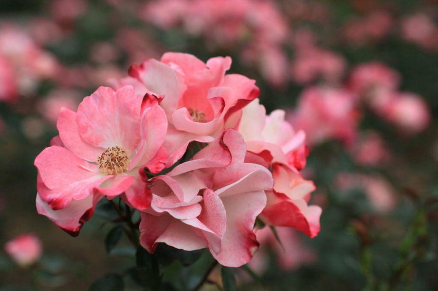 Los colores en jardinería: el rosa