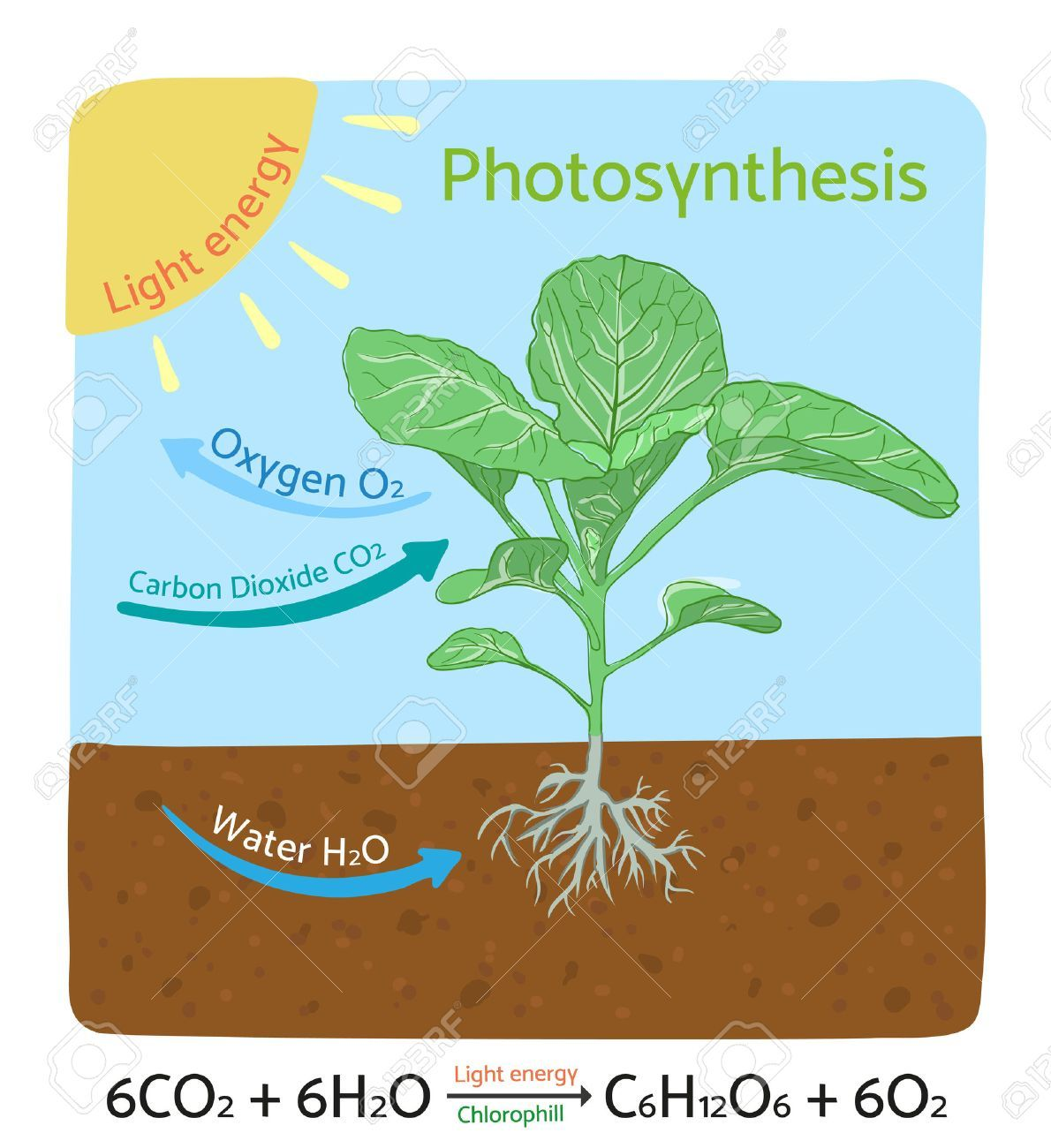 Photosynthesis Diagram Schematic Illustration Of The Photosynthesis Process Illustration Ad Schematic Diagram Photosynthesis Light Energy Infographic