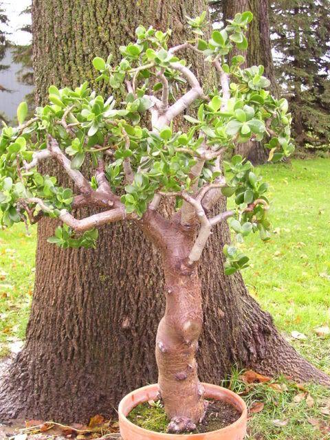 Photo By Ron Flemke Jade Bonsai Bonsai Garden Bonsai Tree