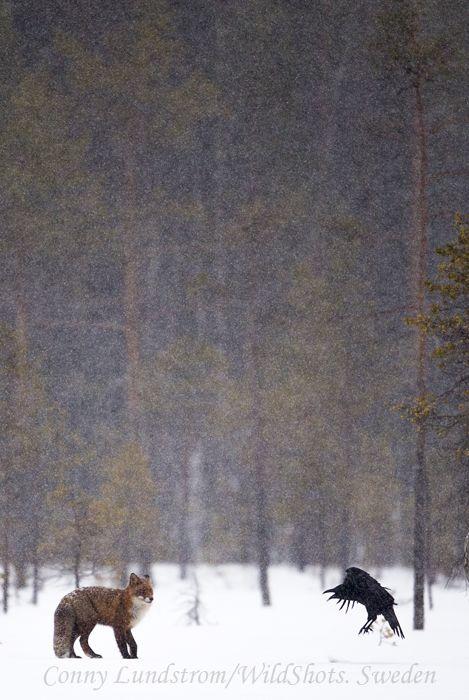 Happening now | Conny Lundström - Vildmarksfotograf