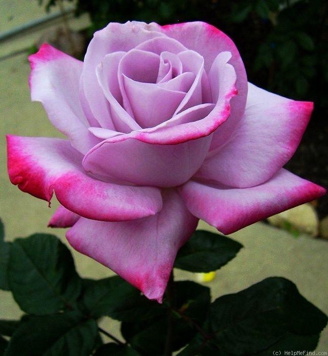 роза парадиз фото и описание финальном матче