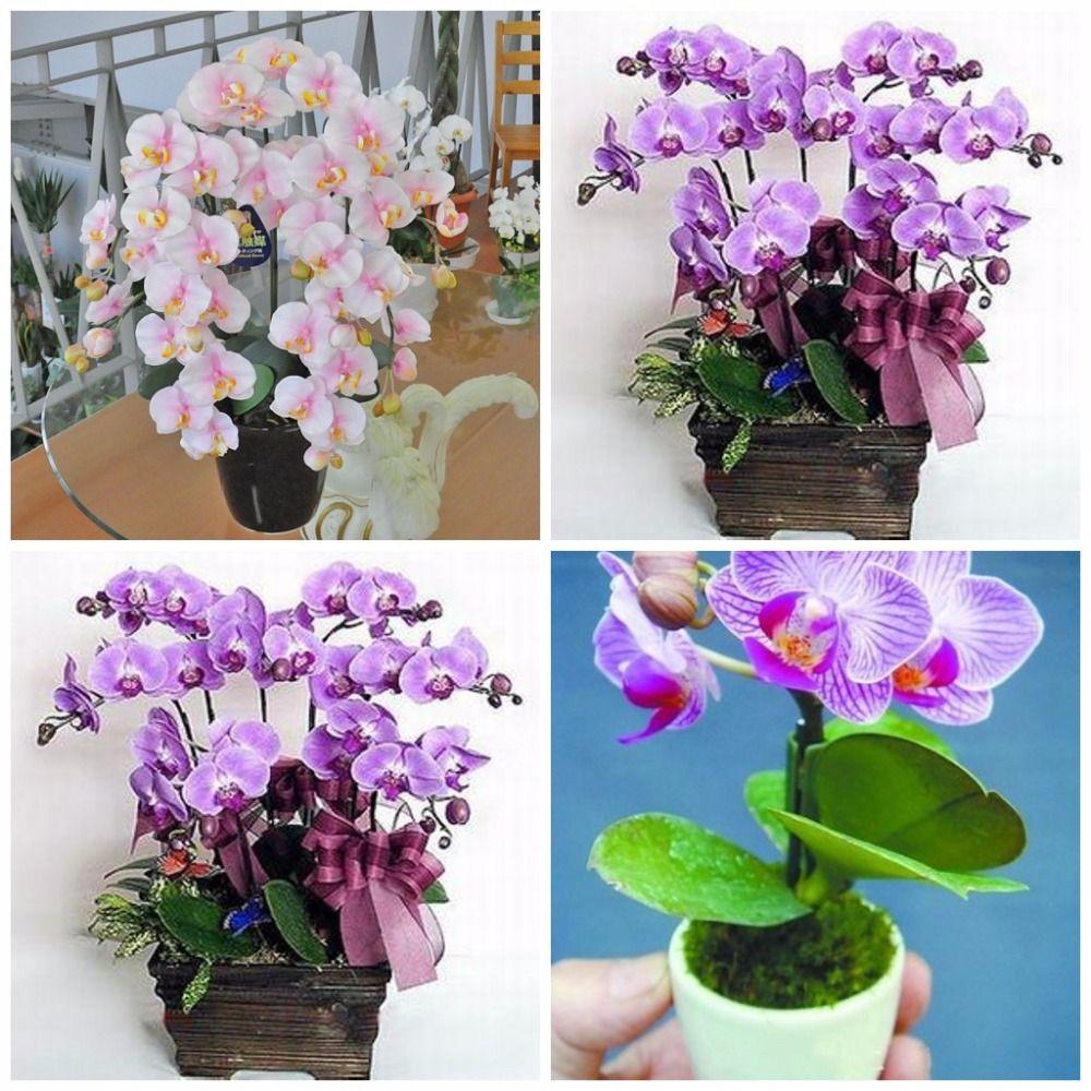 Hydroponic orchid seedsindoor flowers bonsai four seasons