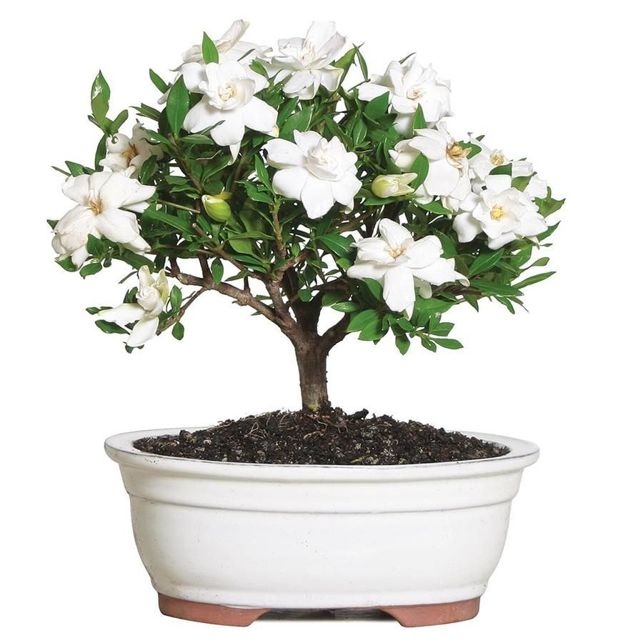 Brussel S Bonsai 8 In White Gardenia In Clay Planter Dt0107g