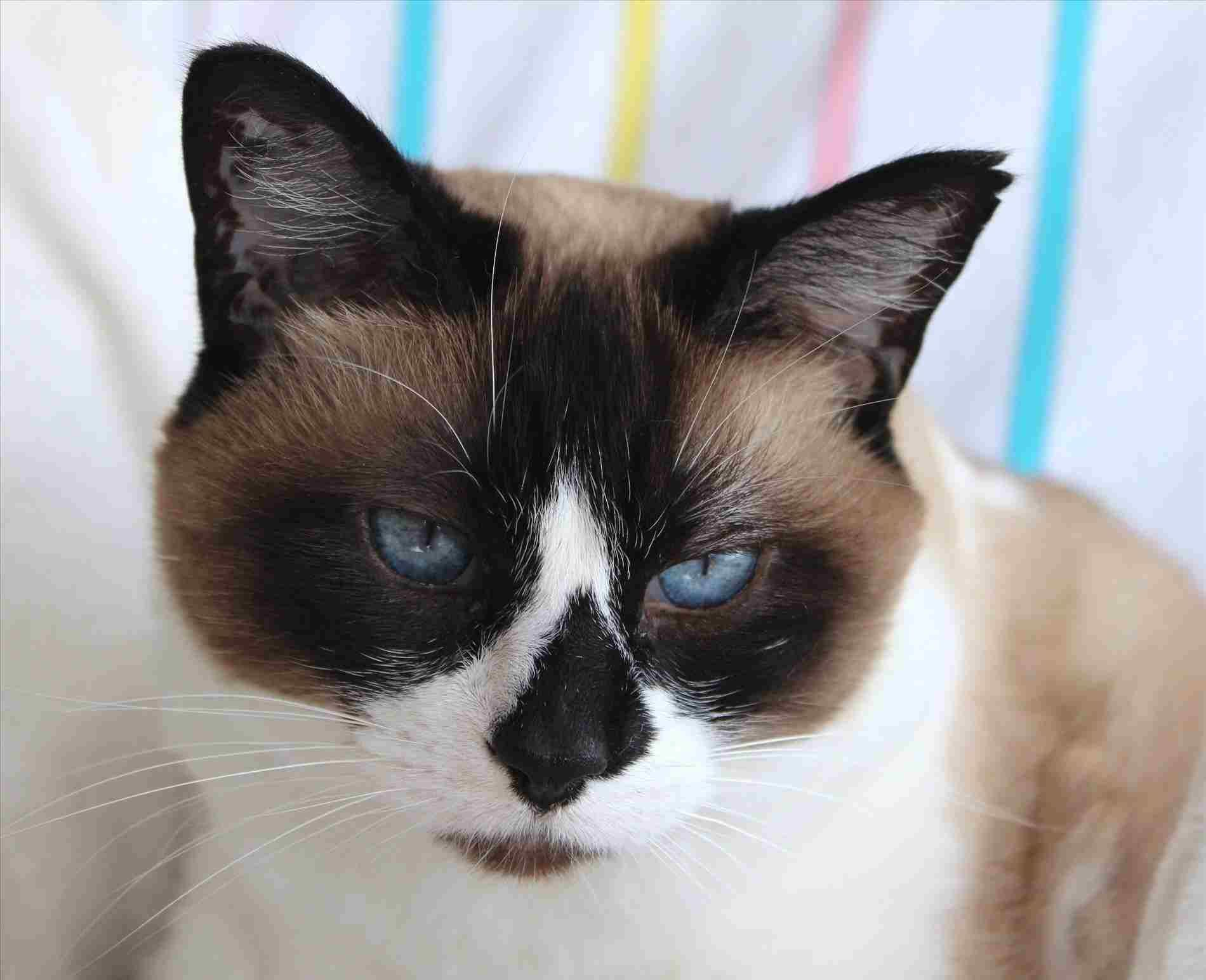 Siamese Cat In Heat Kimberley S Portrait Of Luna In All Its Glory Kimberly Summerscales Pa Caterwa Snowshoe Cat Siamese Cats Blue Point Siamese Cats Facts