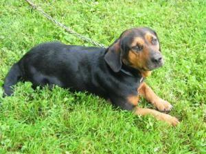 Adopt Jessie On Basset Hound Dog Hound Dog Rottweiler Mix