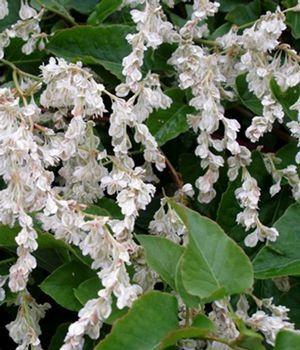 Polygonum aubertii Silver lace vine from Nursery Direct Dodie