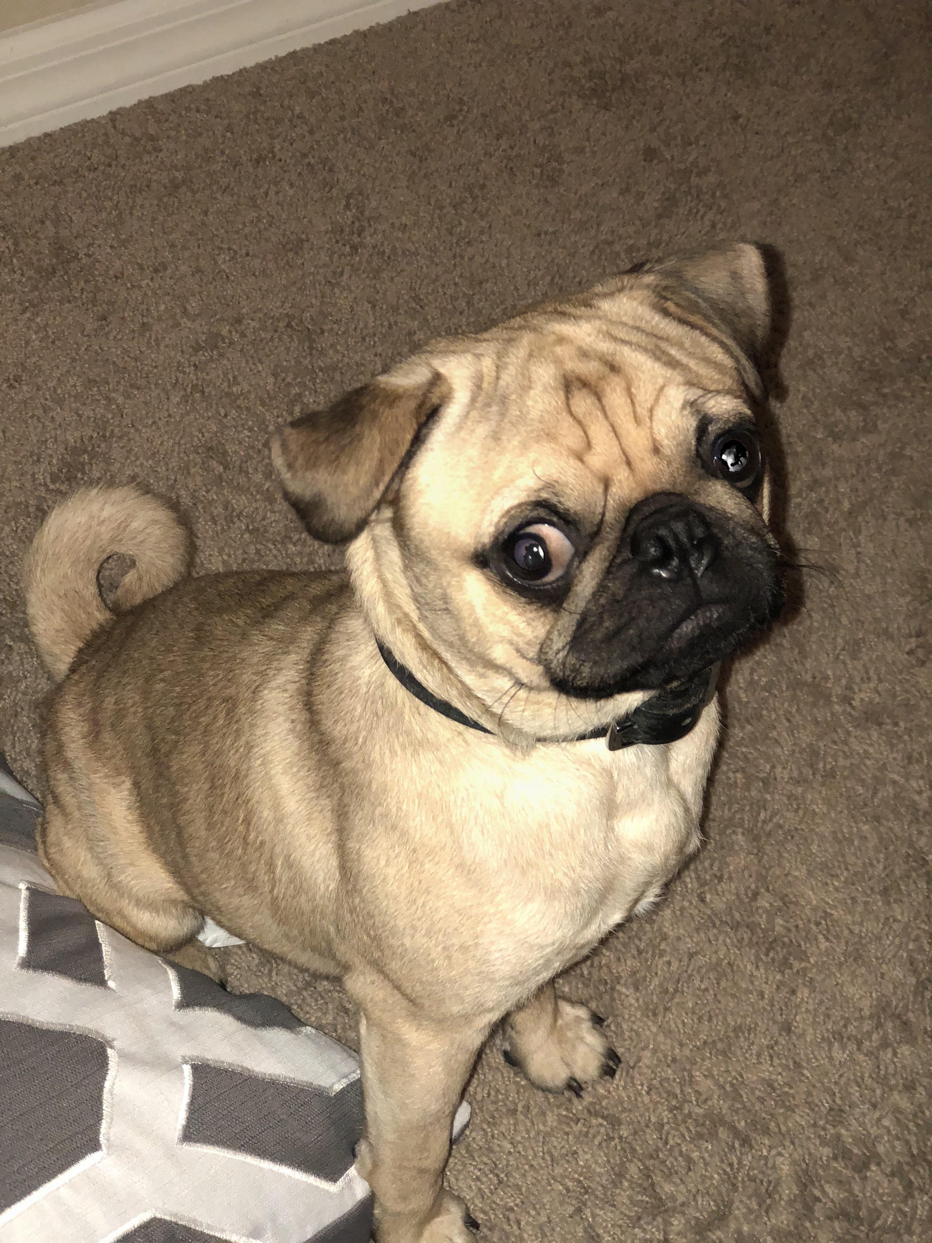 Meet My Son Prince Charles Https Ift Tt 2nss767 Baby Pug Dog