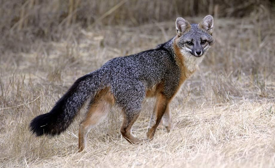 Urocyon cinereoargenteus - Grey Fox -- Sighted: Goshen,  NY across from the horse farm
