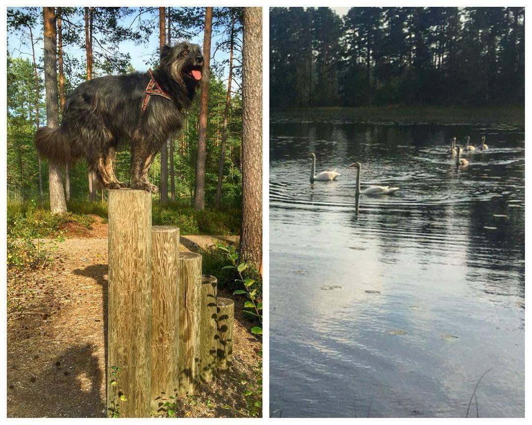 Mosse #eerikkilä urheiluopiston maastossa. Pikkulammessa meistä kiinnostuneita joutsenia. Eivät paljoa koiria pelänneet. #t #fb
