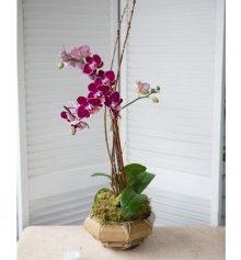 Simple Purple Phalaenopsis Orchid  -Ambrose Garden