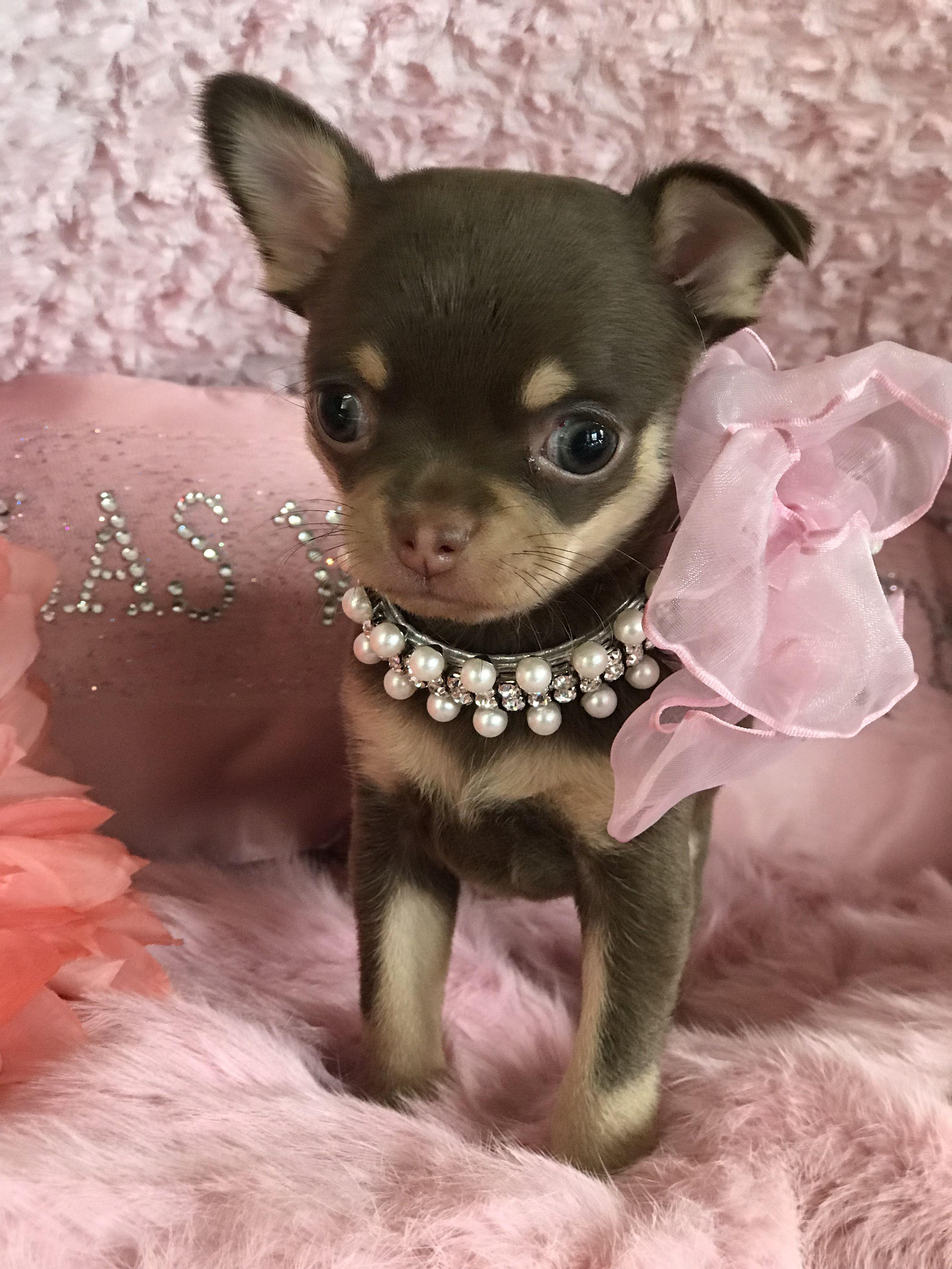Pin by las Vegas tiny Chihuahua on chihuahua Cute