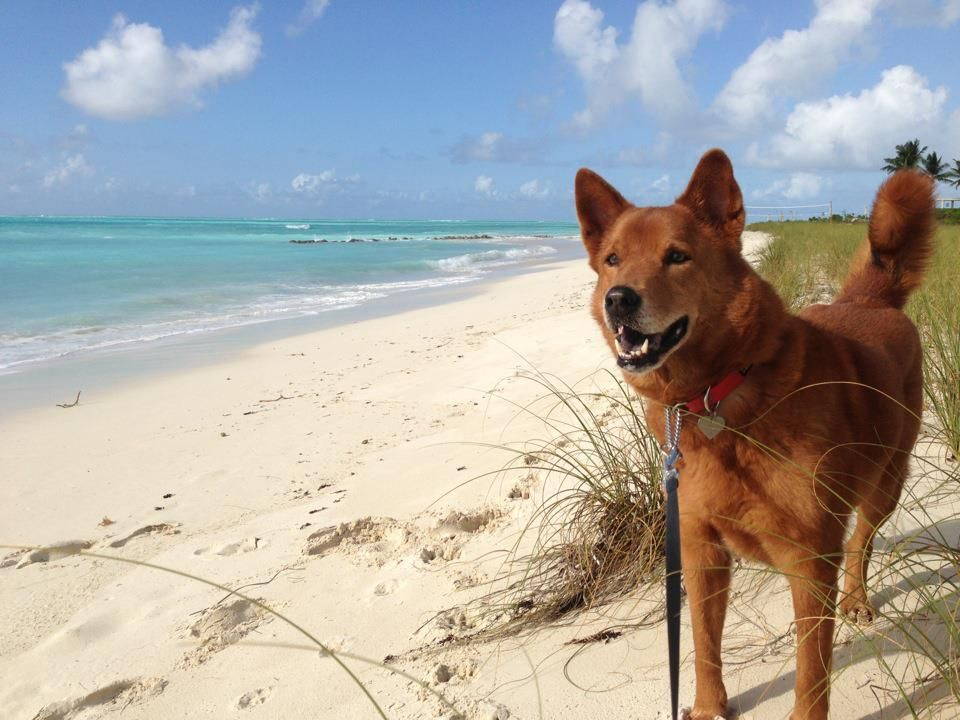 Potcakes Turks And Caicos Dogs Grace Bay Beach Beaches In The World Luxury Travel Blog