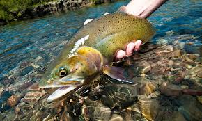 Look at this baby!  If you are catching and releasing you should always hold the fish especially the larger the fish in a horizontal position.  http://www.backyardtroutfishing.com