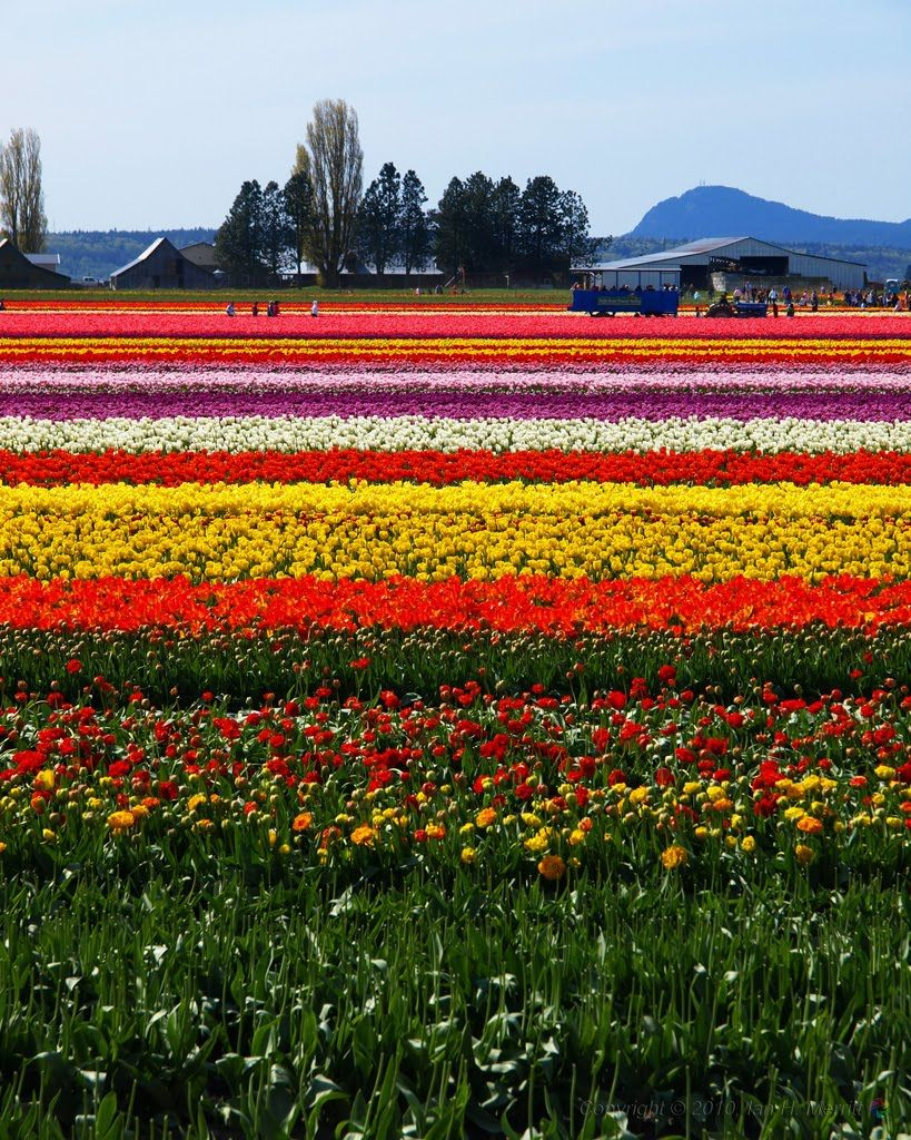 Tulips Galore At Skagit Valley Tulip Festival In Washington Tulip Fields Skagit Valley Tulip Festival Tulips