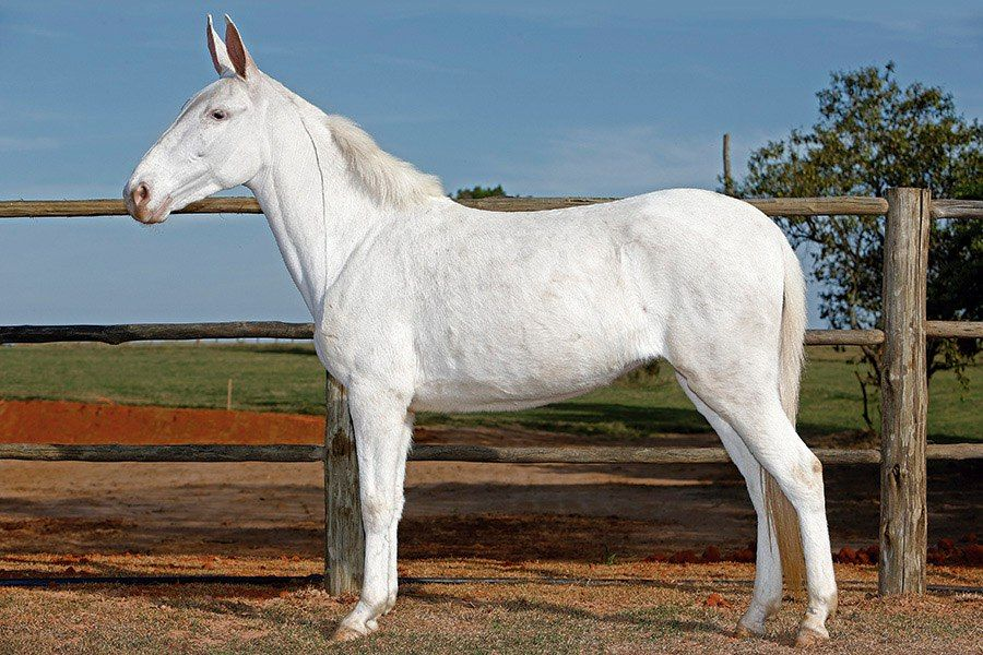 Handsome White Mule