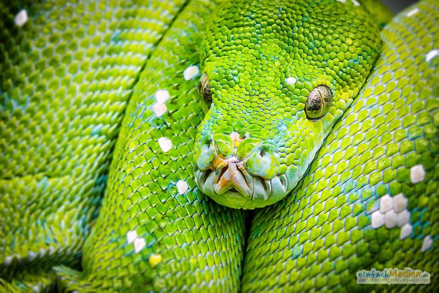gr ne baumpython green tree python staatliches naturkundemuseum karlsruhe python. Black Bedroom Furniture Sets. Home Design Ideas