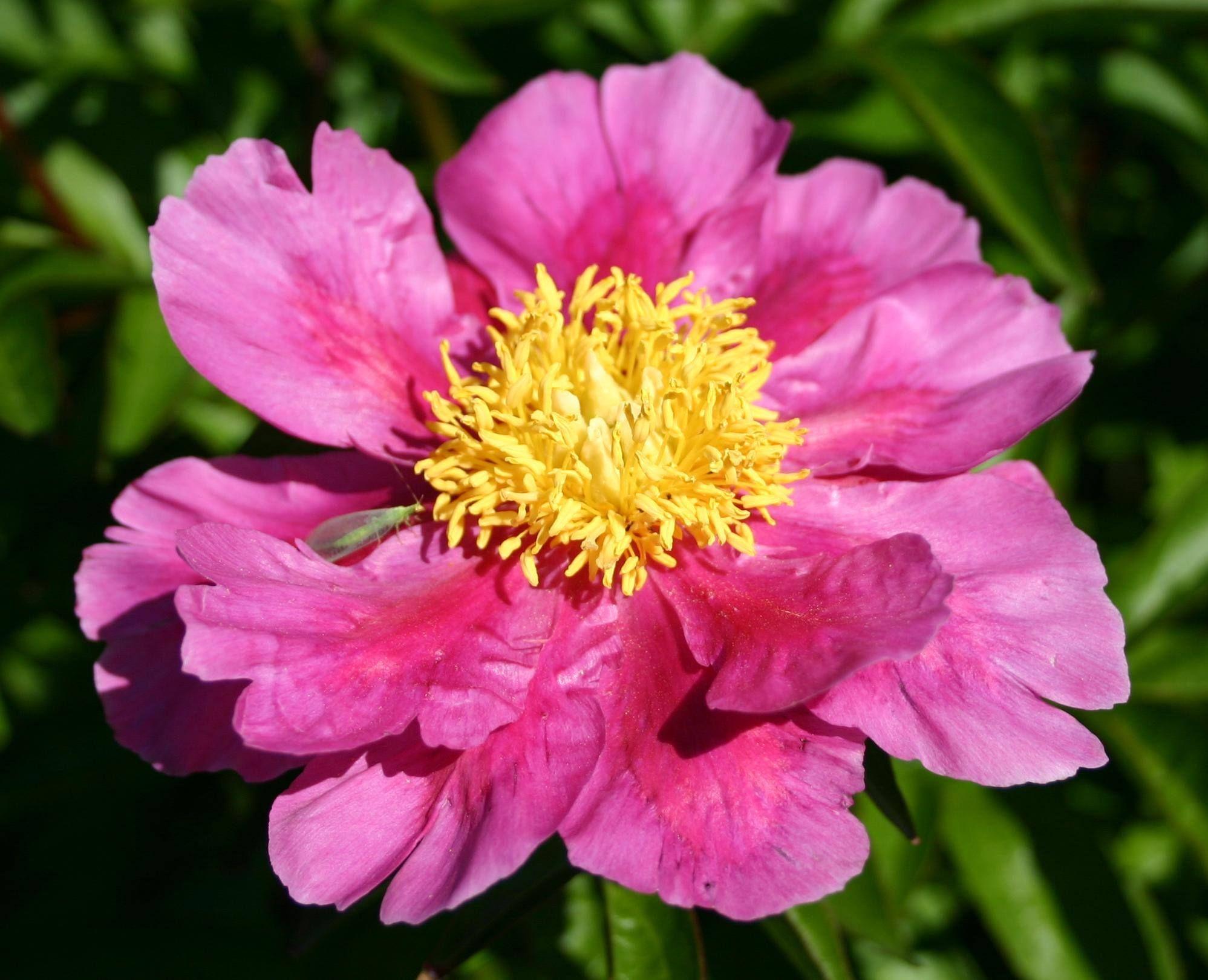Large Single Petal Anemone Yellow Center Pink Cut Peony Flower
