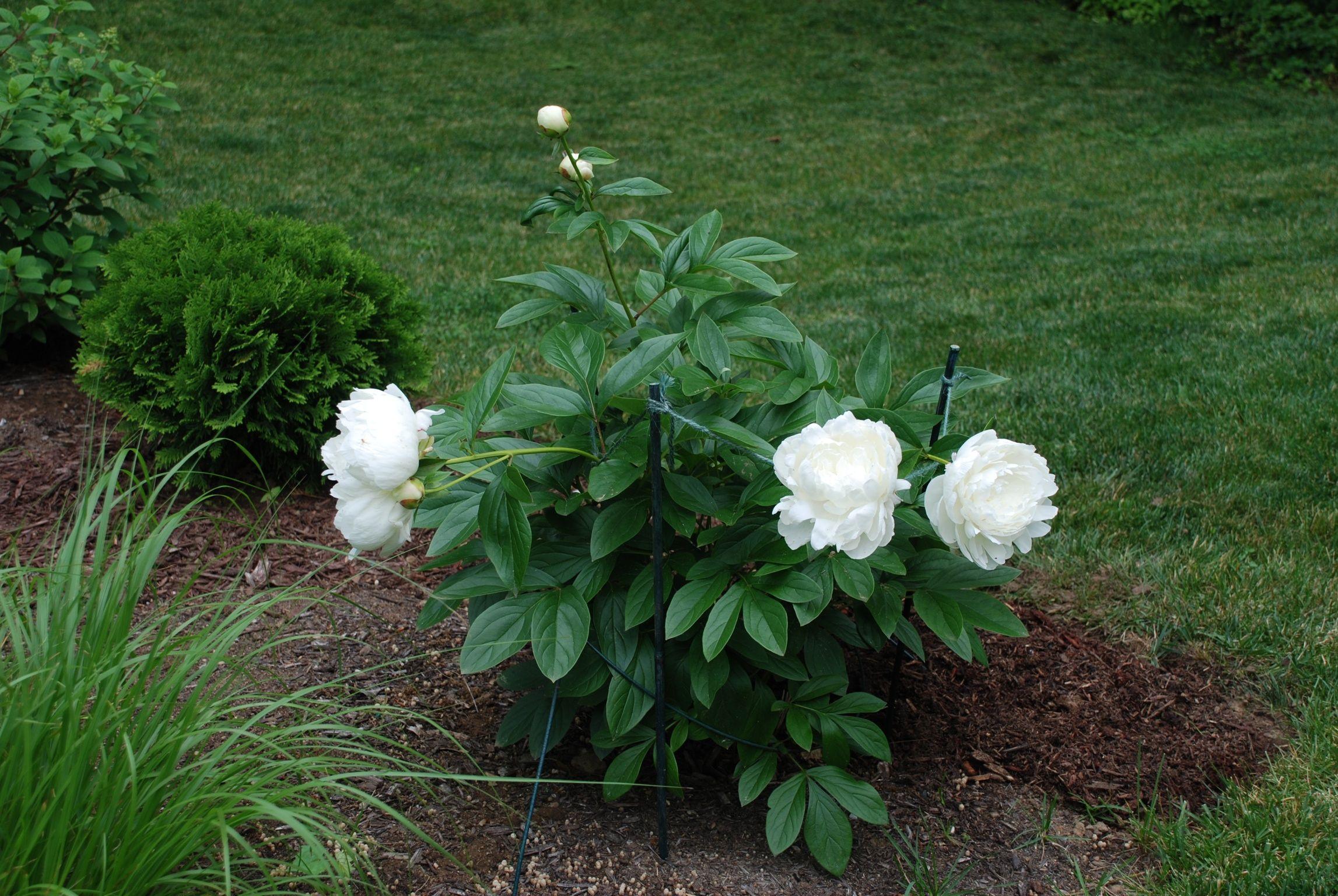 Elsa Sass 2nd Year Plants Peonies Sass