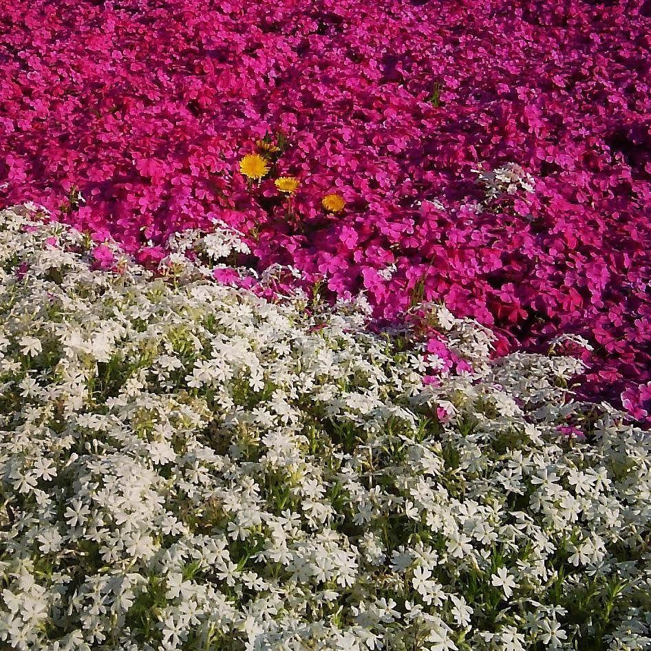 桜が終わってふと足元を見ると 芝桜が咲き始めました 生命のリレーです 自然って本当に素晴らしい  #芝桜 #たんぽぽ #春うらら #今日は寒い #のん散歩 #ぶらのんちゃん  #tokyo #moss_phlox #ig_japan #東京カメラ部 by nonno_yu_d