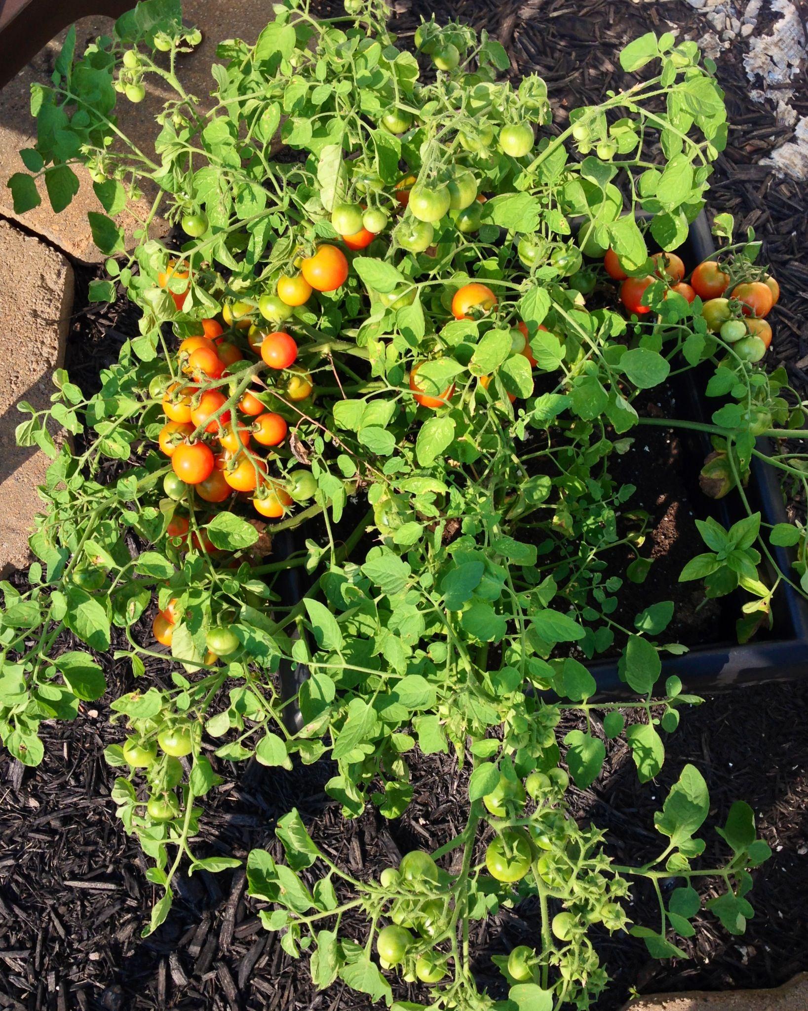 My Cherry Falls Tomato Plant Gardening Pinterest 400 x 300