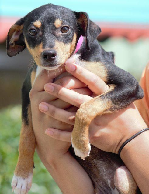 Doxie Pin Dog For Adoption In Columbus Ga Adn 683790 On