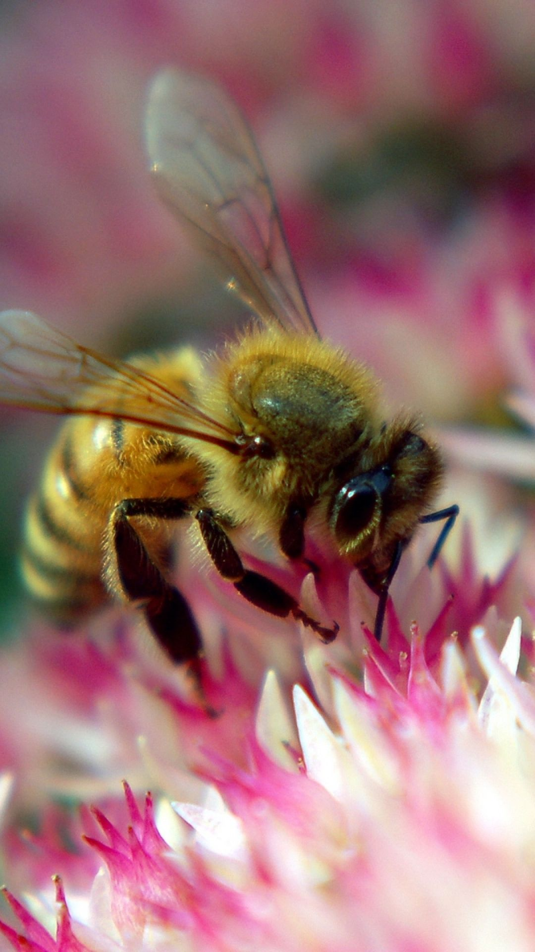 Flower Bee Pollination Insect Iphone 6 Wallpaper Bee On Flower Working Bee Bee