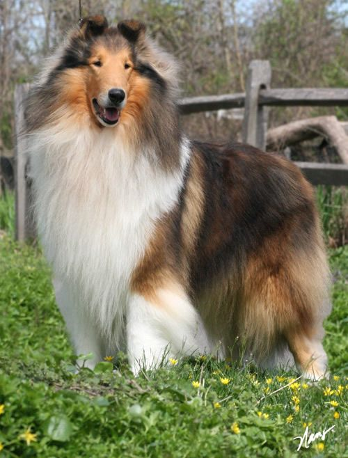 American Collies Switzerland In 2020 Collie Hunde American