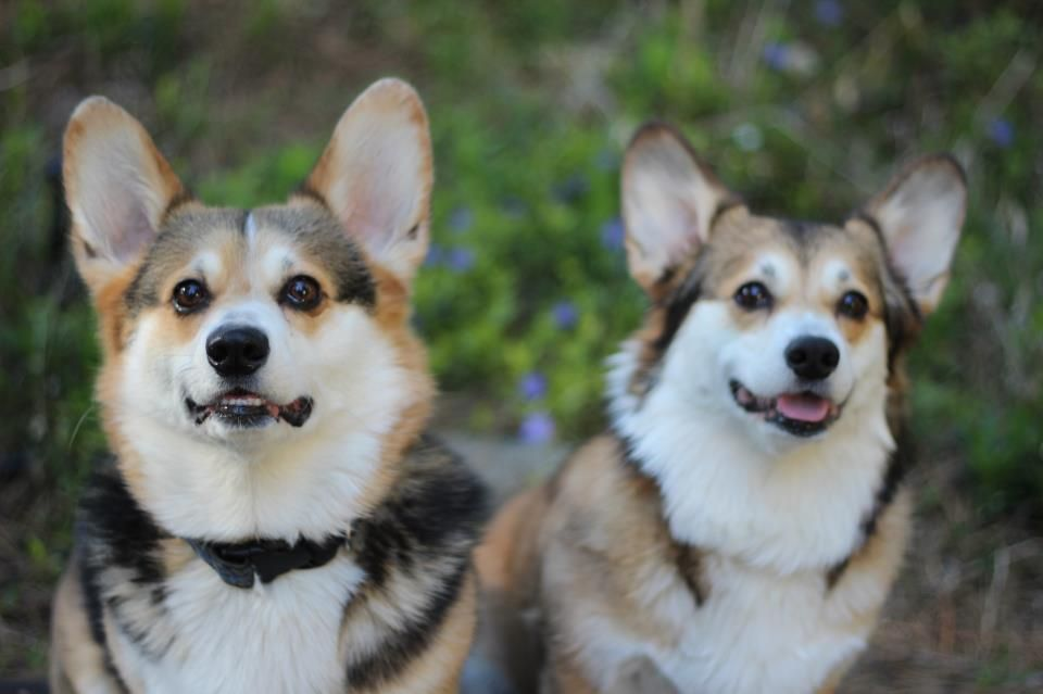 Corgi Two And Both Look Like They Are Waiting For A Treat Z Corgi Corgi Dog Corgi Pembroke