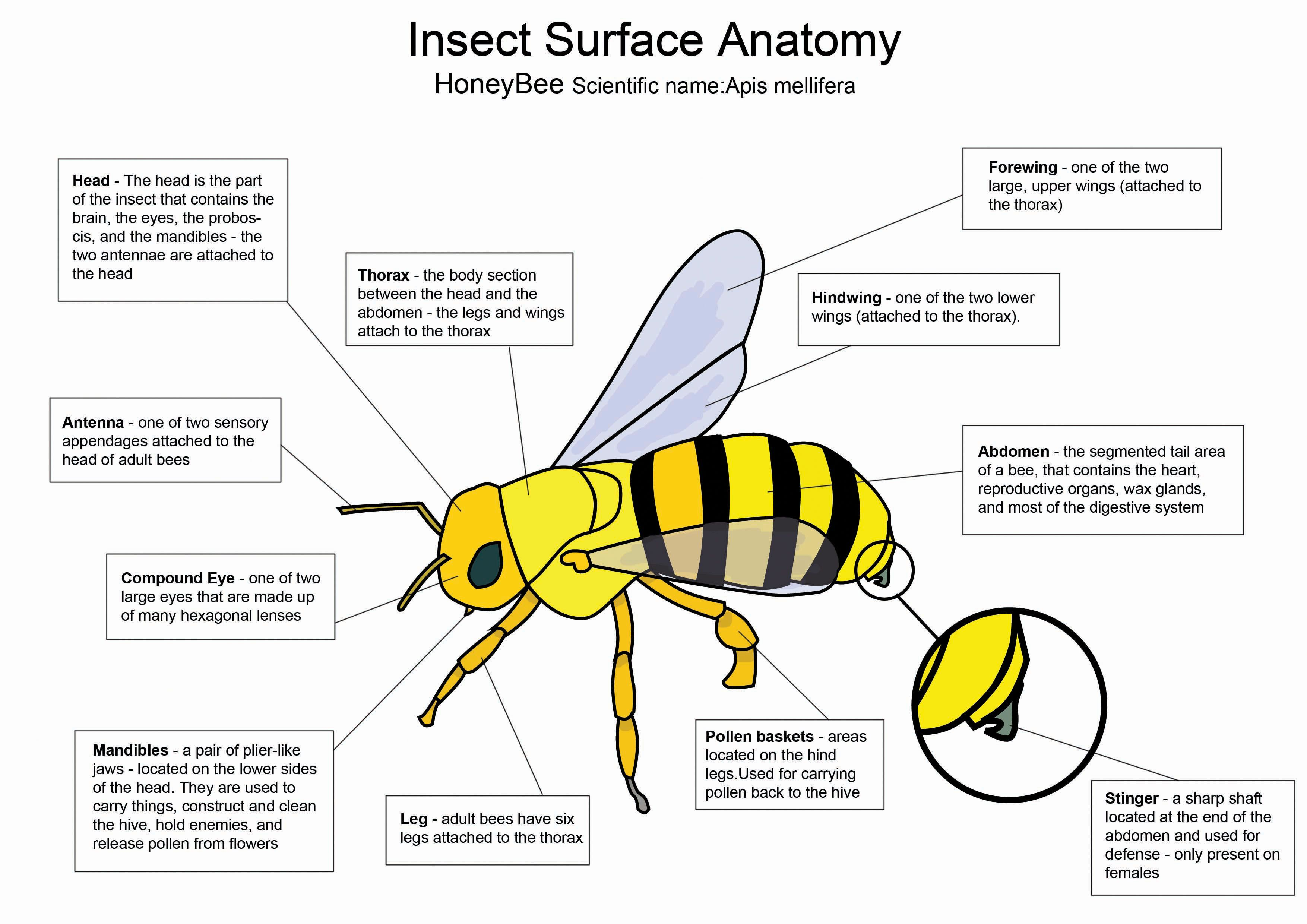 Honey Bee diagram by crazyhobodeviantart on