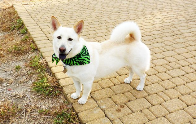 Shonee Is A White German Shepherd Corgi And Chow Chow Mix As A