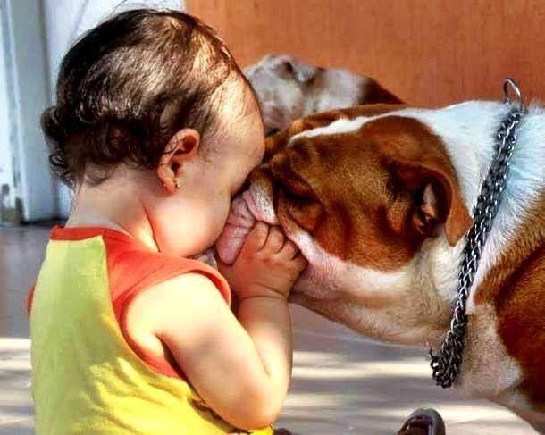 Bulldog and baby smooches.