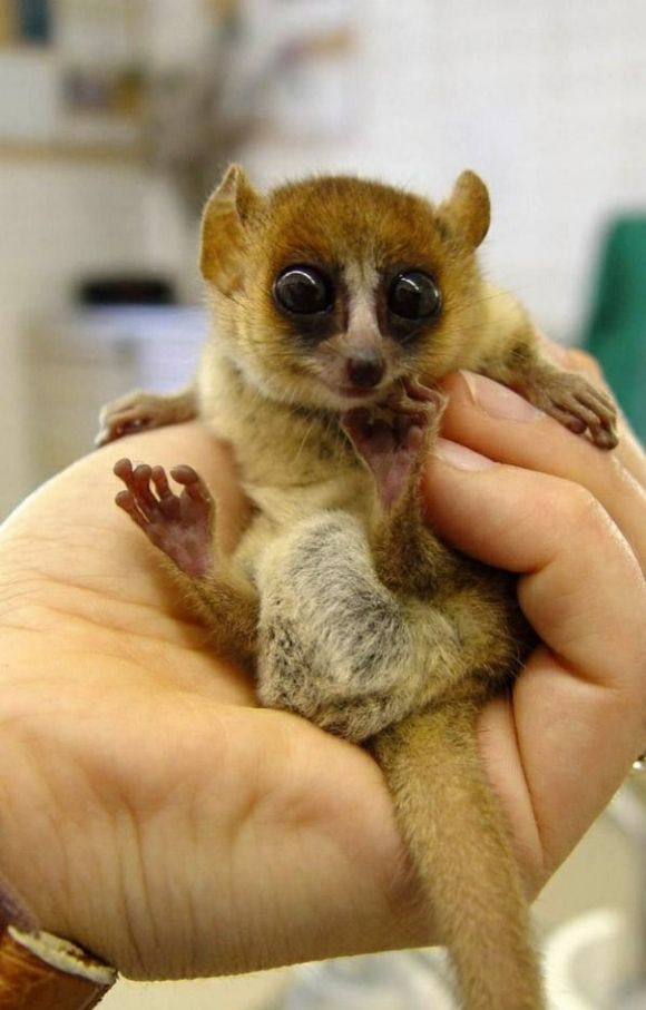 A Bush Baby Cutest Paw With Images Cute Animals Baby Lemur
