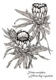 sketch protea - Google Search