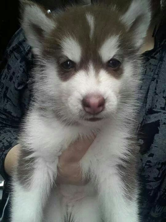 Love The Markings On This Puppy S Face Siberian Huskies My True