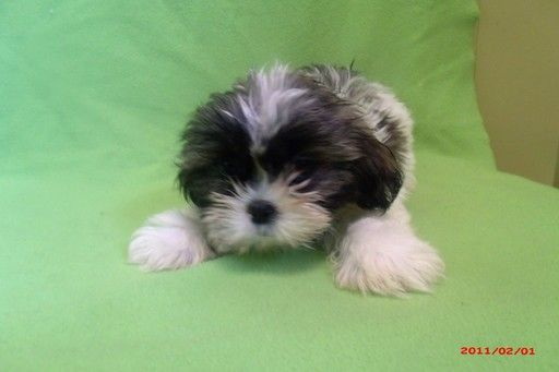 Shih Tzu Puppy For Sale In Paterson Nj Adn 22317 On Puppyfinder Com Gender Male Age 5 Months Old Shih Tzu Puppy Puppies Puppies For Sale
