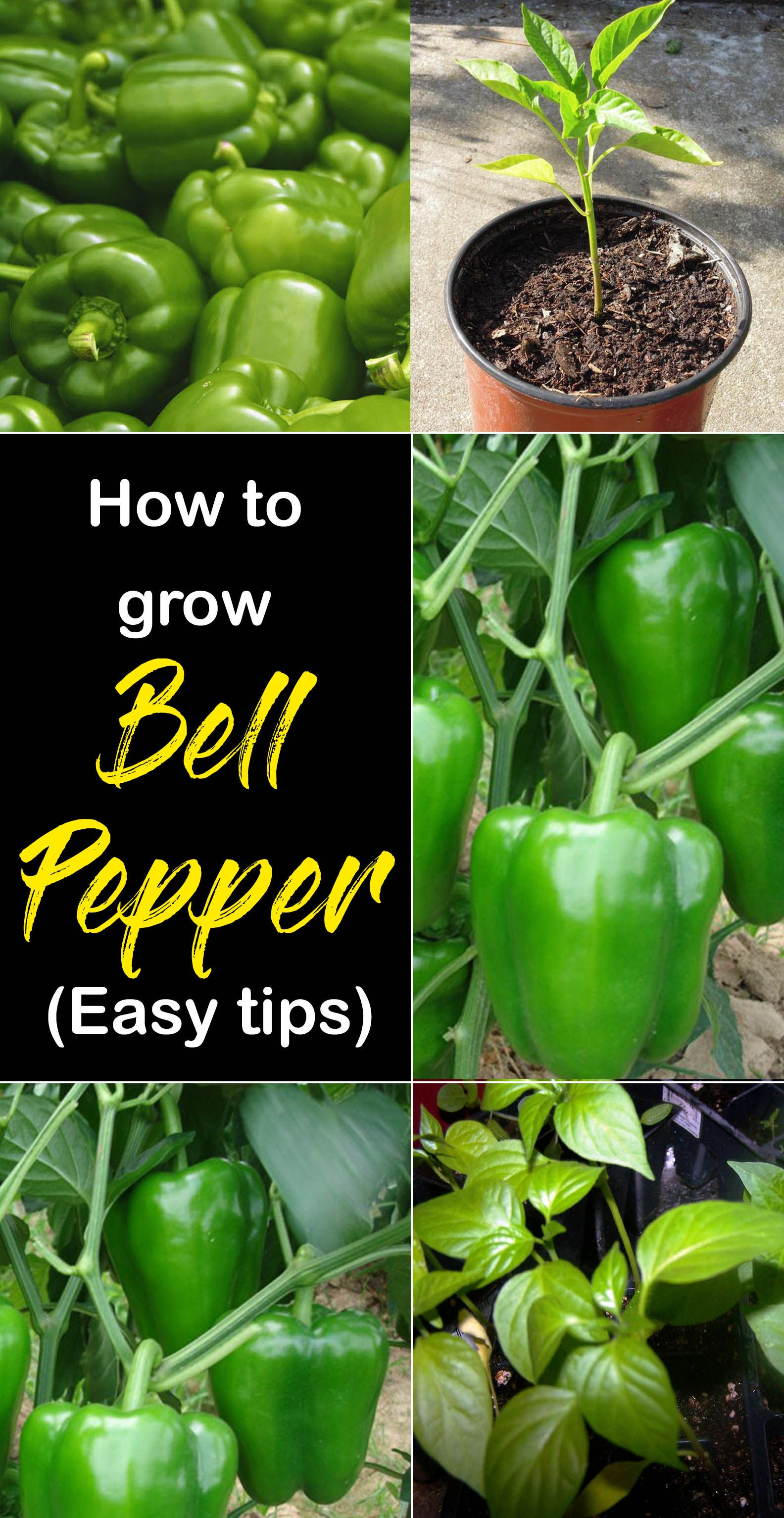 How To Grow Bell Peppers In Containers Growing Bell Peppers Sweet Peppers Naturebring Growing Bell Peppers Stuffed Bell Peppers Growing Green Peppers