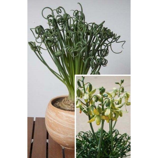 Frizzle Sizzle Albuca Spiralis Lightly Fragrant Flower Spike Ear In Spring From This Balcony Plantsindoor Gardeningrare