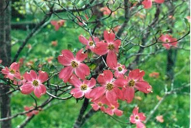 Deep Pink Dogwood Flowers They Are Just Soooo Beautiful Pink Dogwood Dogwood Trees Dogwood Flowers