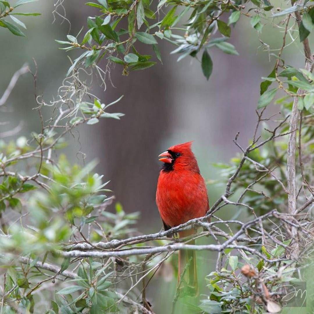 Virginia Designated The Northern Cardinal Cardinalis